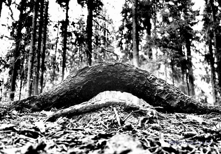 wooden wave - root, tree, fir, forest - bmonocerotis | ello