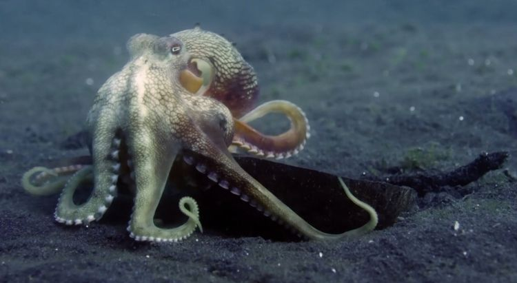Tool Cephalopod. barren sand fl - ccruzme | ello