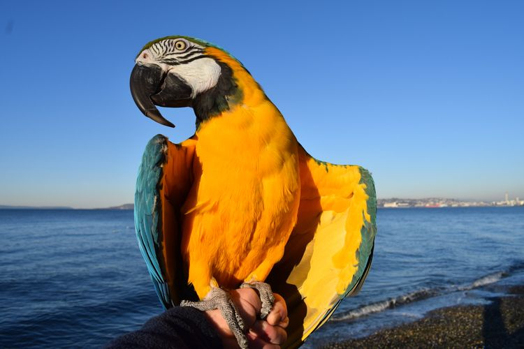 Portrait Parrot. Blue Gold Maca - michaelostrogorsky | ello