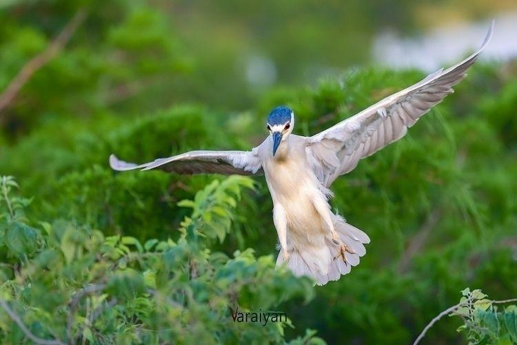 Black-crowned night heron landi - varaiyan | ello