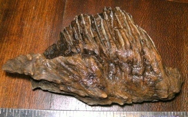 paleontology, mammoth, tooth - sucramlednarb | ello