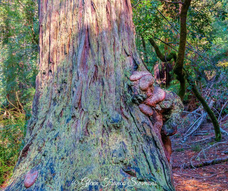 Redwood Burls burl formation ph - photosasart   ello