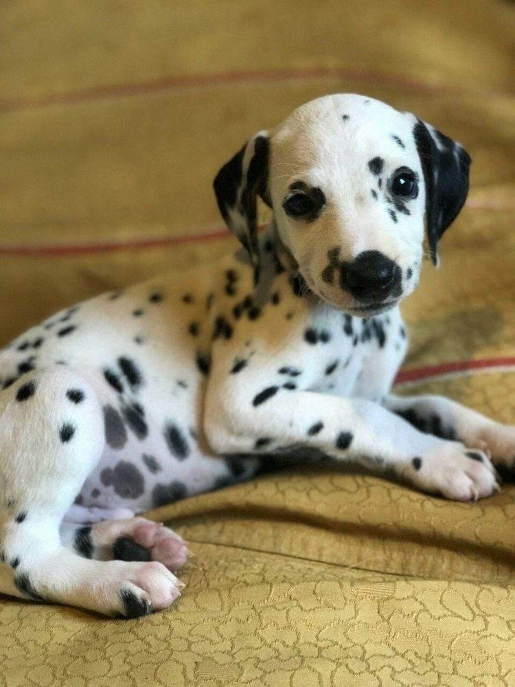 Dalmatian Tuffy! photo small mo - spottedfamily | ello