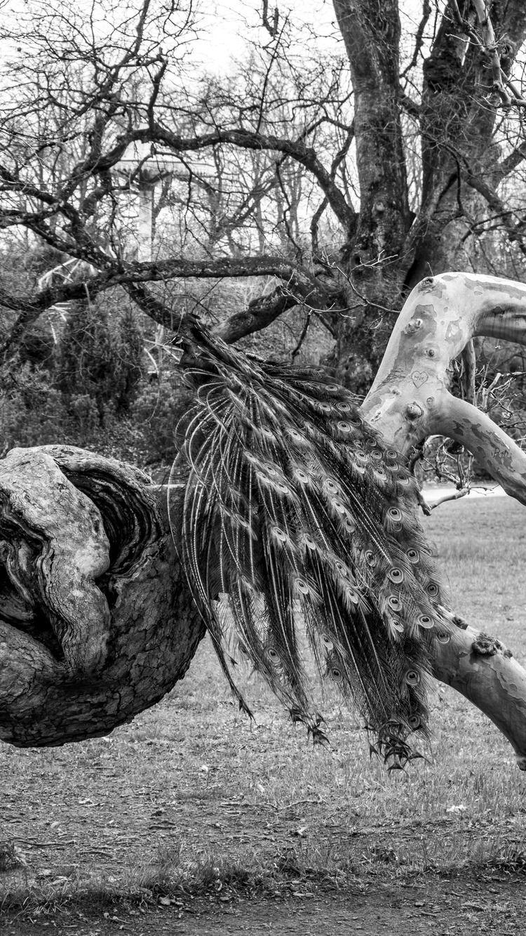 Peacock garden - blackandwhitephotography - marcstipsits | ello