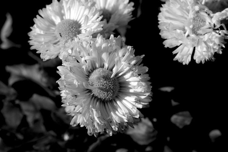 Botanical Monochrome 8453 - flowerphotography - dorian-stretton   ello