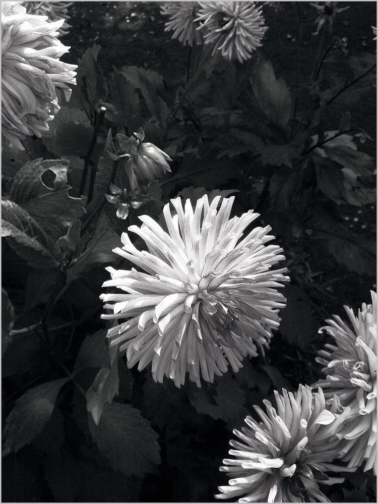 dislike dahlias - elloart, elloflowers - rawhaela   ello