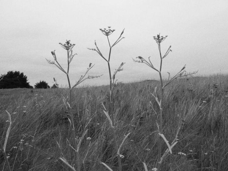 wildfoeniculumvulgare, remembrance - karineduval | ello