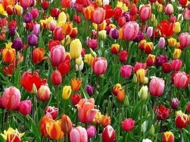 beautiful tulip farm NJ picture - funnewjersey   ello