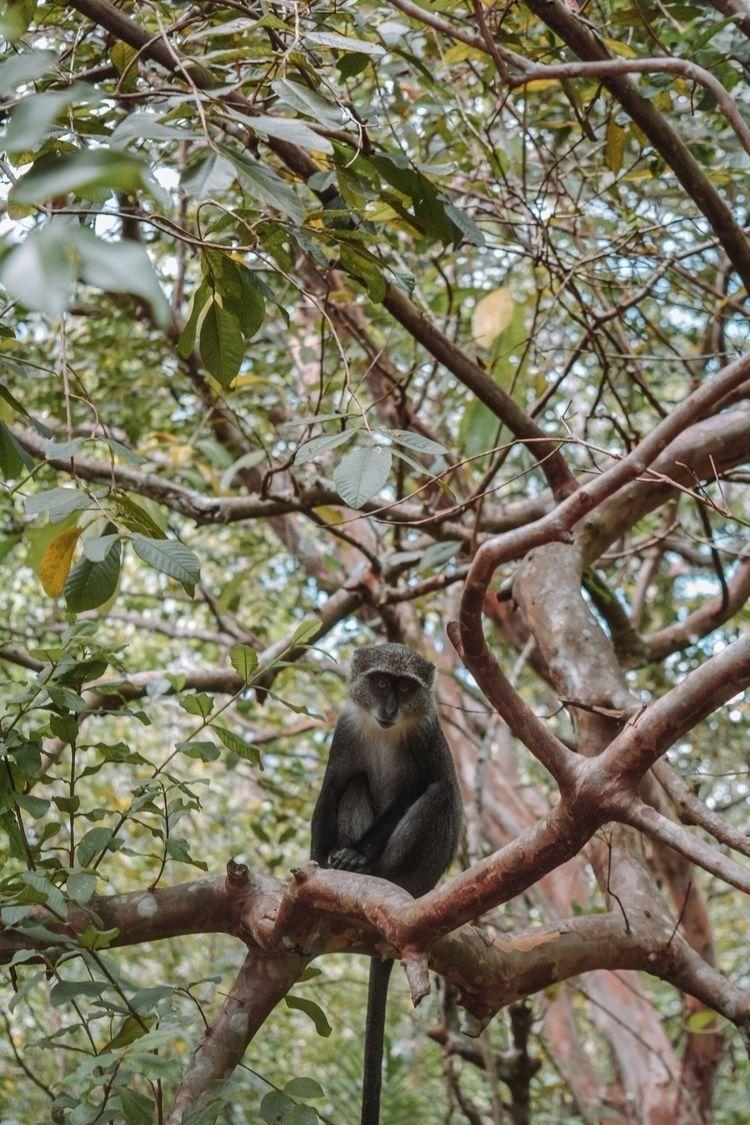 Gray Monkey Jozani forest. shye - petrovalex | ello