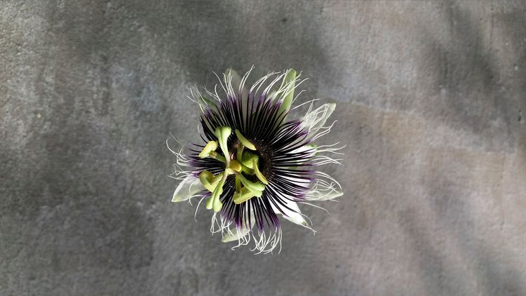 passion flower good sunday - hope - rebornmartins | ello