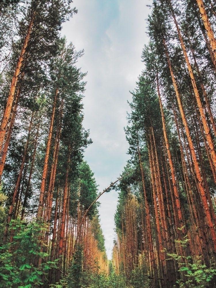 pine forest | Instagram - trees - andreigrigorev | ello