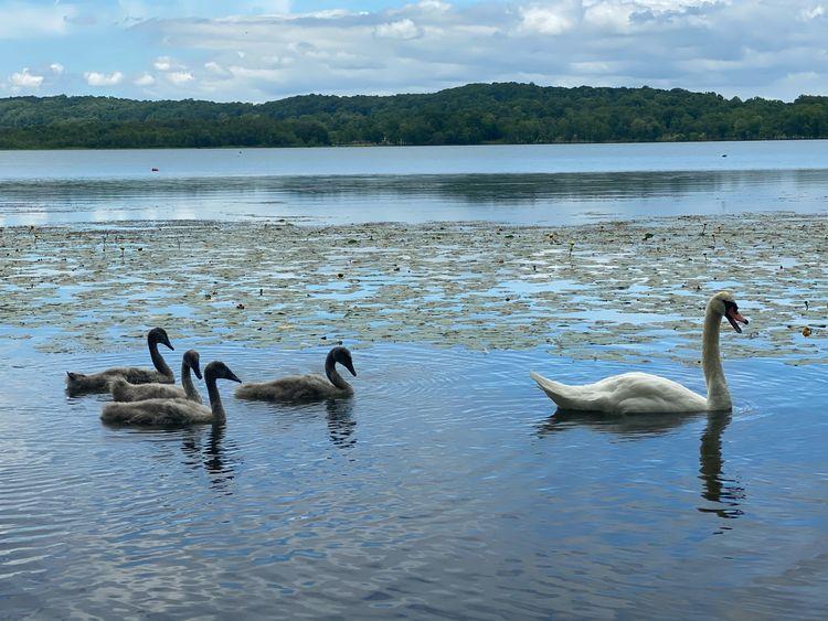 start song top. swans swimming  - starbgoddess | ello