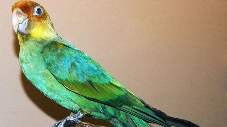 Humans Blame Extinction Parrot - mylovelybirds | ello