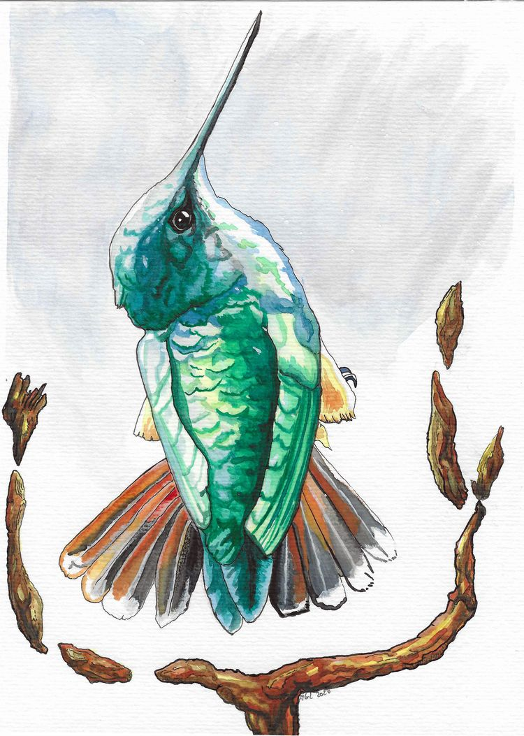 Colibri version 2 watercolor bi - nicglorieux_illustration   ello