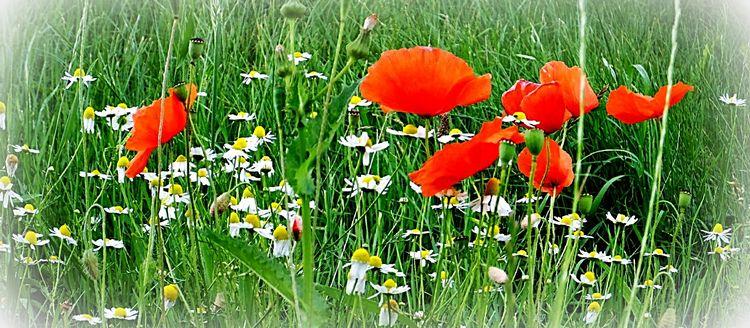 Mixed meadow (Mischwiese) Camer - richard-von-lenzano | ello