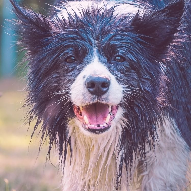 Portrait wet border collie - dogs - tewdin | ello
