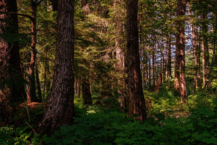 Ancients trees grow forest June - 75centralphotography | ello