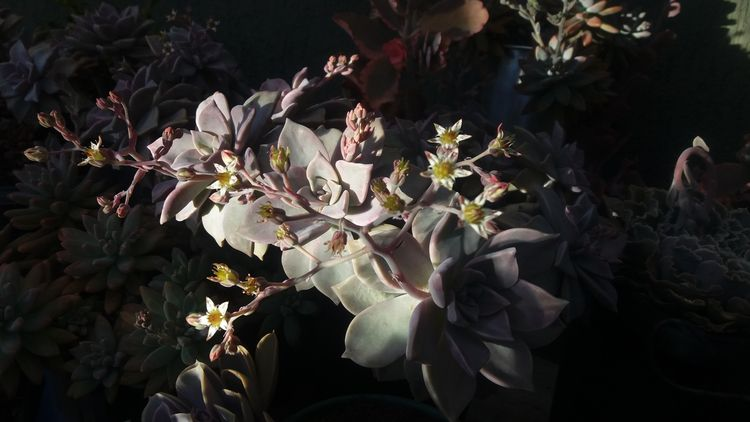 paraguayense, elloflowering, succulentobsessed - rebornmartins | ello