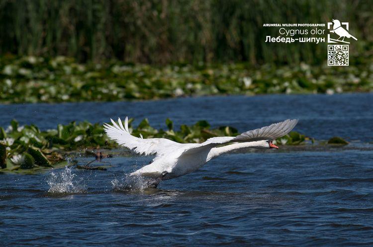 Лебедь-шипун // Cygnus olor pho - airunreal | ello
