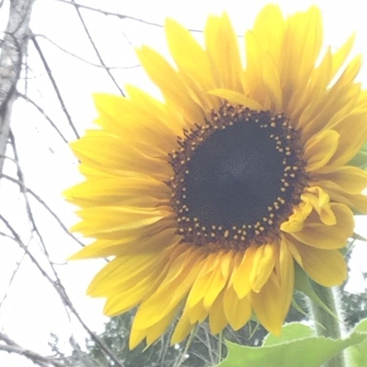 Pop colour garden - sunflower, flowers - laurabalducci   ello