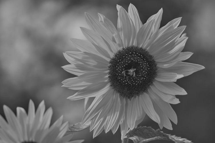 bumblebee sunflower white - yellow - thojen | ello
