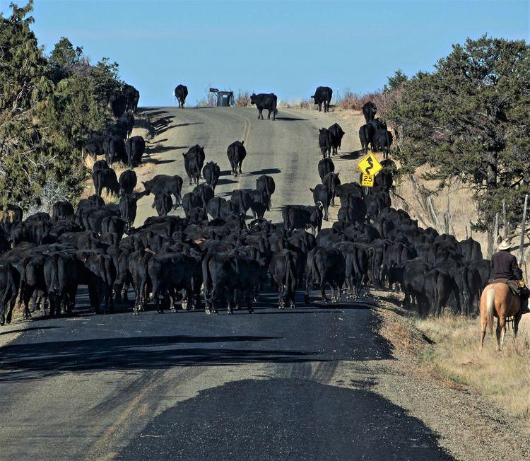 ~ Cattle drive-SW Colorado - tessjohnstone   ello
