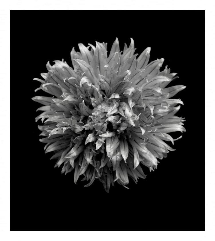 Chive Blossom, Batch diy silver - leelira | ello