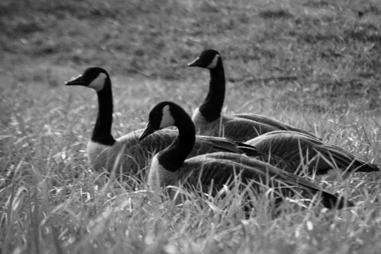 resting day - geese, blackandwhite - underflow   ello
