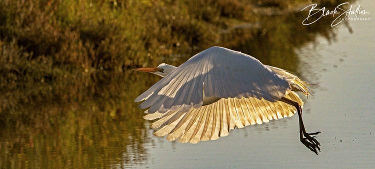 image White Heron backlit risin - igallopfree | ello