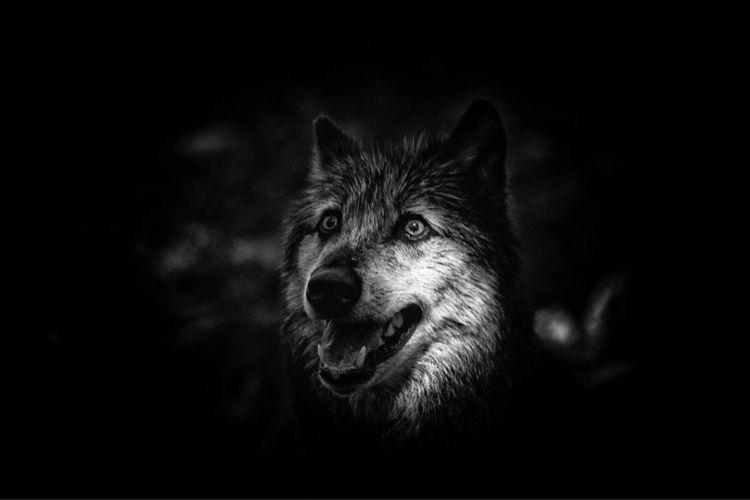 Loup Illuminé - carlosalba   ello