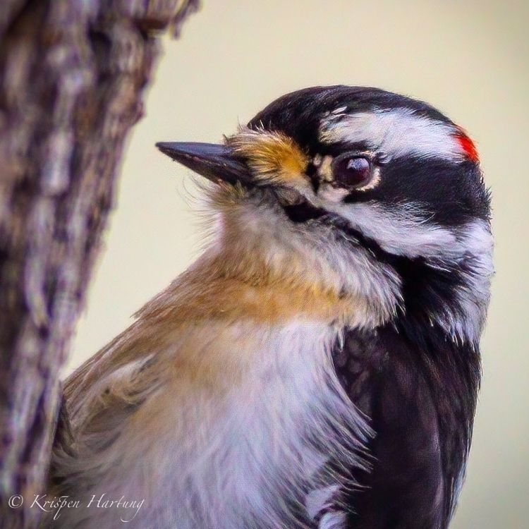 Downy Woodpecker - krispen_hartung_photography | ello