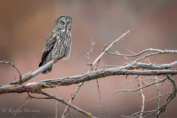 Great Gray Owl - krispen_hartung_photography | ello