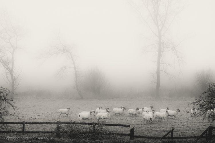 Mist sheep - toni_ertl   ello