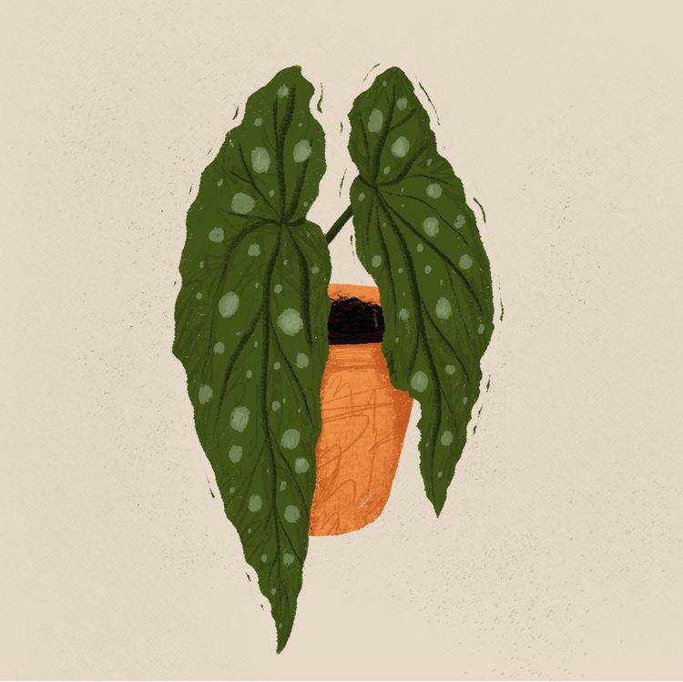 Begonia plant - leraelur | ello