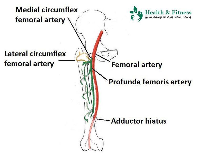major arteries human body Femor - personalcarenheal-grins-superman | ello
