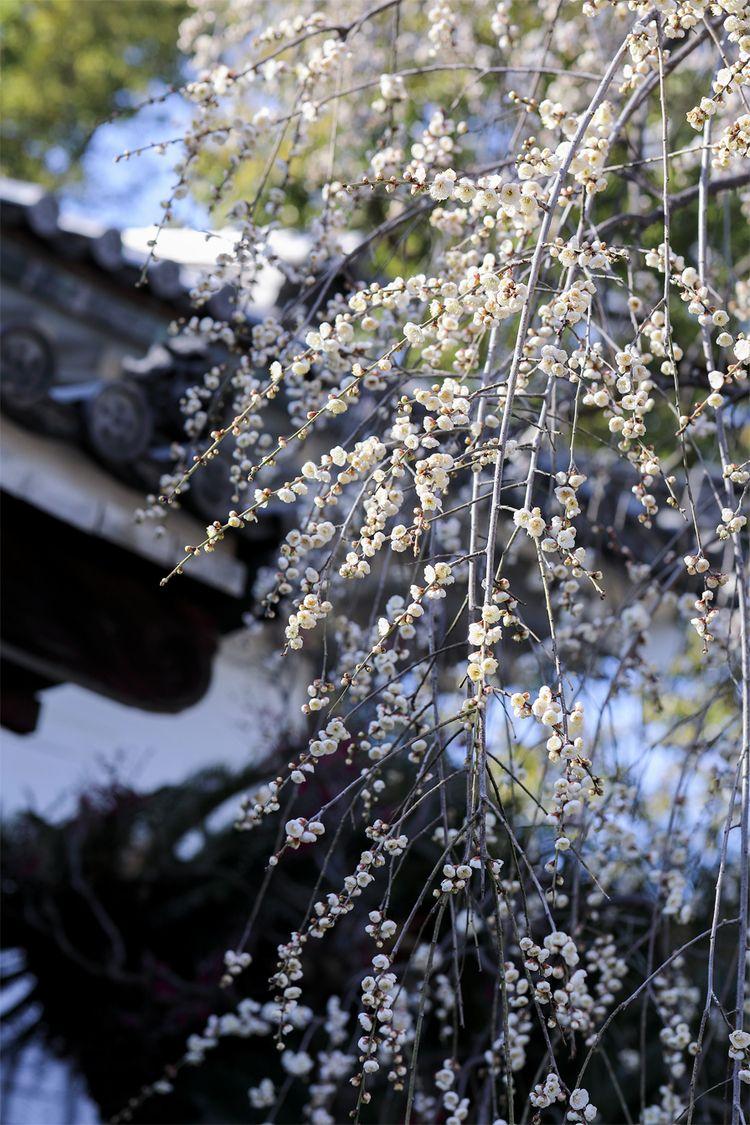 springtime flowing DouMyouji OS - miki_abe | ello