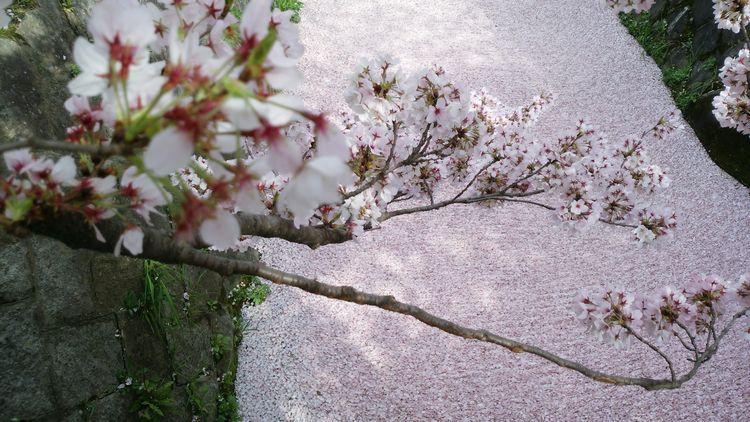 ちょっと早いけど京都桜 Kyoto Sakurra - masayan21   ello