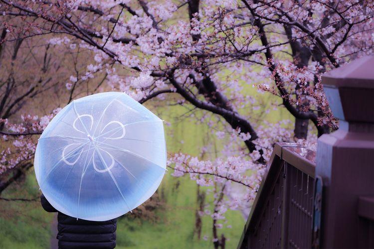 Cherry Blossoms Jellyfish.(2)(花 - miki_abe | ello