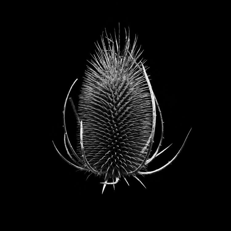 Teasel seed head - teasel, photography - chrishuddleston   ello