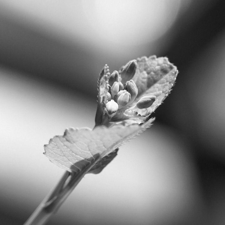 blooming - macro, radishes, blackandwhite - underflow | ello