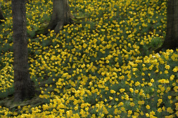 Daffodil Hill, Lake View Cemete - paulghellothere | ello