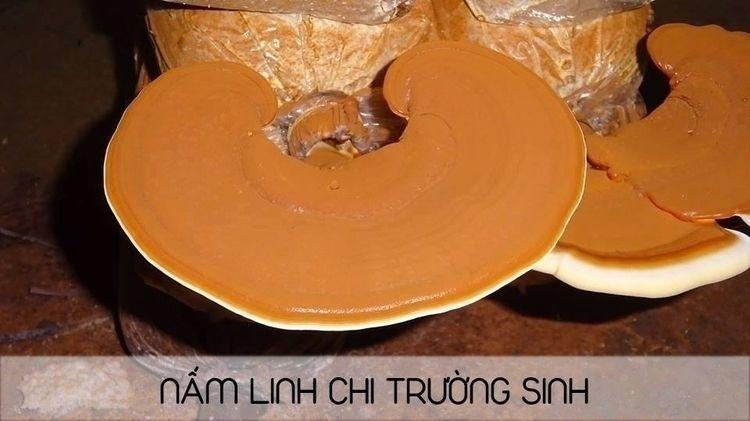 NAM LINH CHI TRONG DIEU TRI BEN - linhchitruongsinh | ello