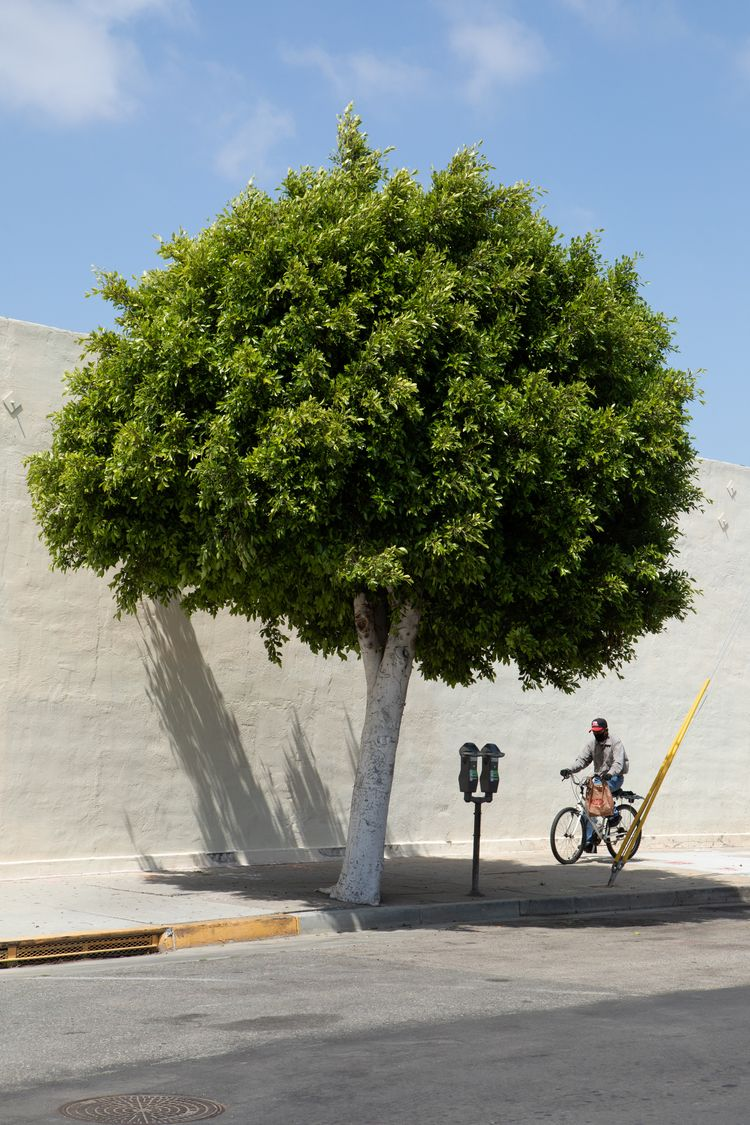 Street Tree, Nutwood St, Inglew - odouglas | ello
