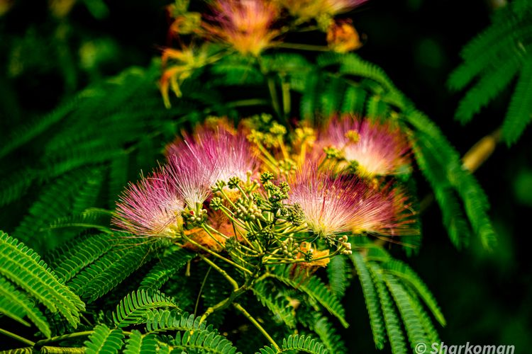 Silk Tree (Mimosa, Silky Acadia - sharkoman1 | ello