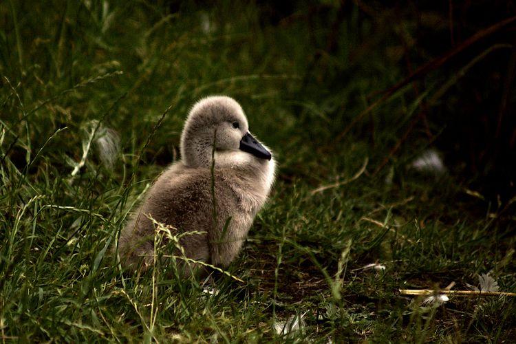 Cygnet 4 - wildlifephotography, birdphotography - dorian-stretton | ello