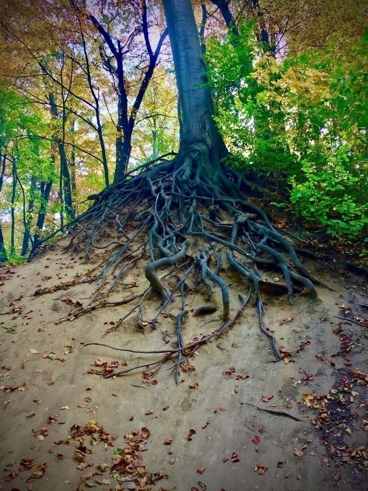 Roots - trees, nature, woods, photography - blueskipper   ello