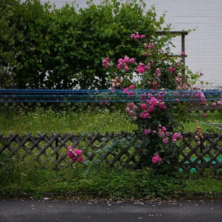 Wayfarer - photography, summer, roses - marcushammerschmitt | ello
