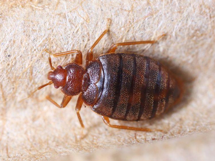 Bed Bugs Exterminator York Bug  - yorkerspestcontrol | ello
