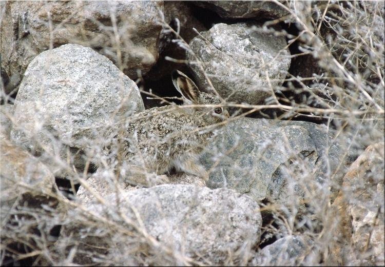 young hare (leveret) bamboozle  - ellonatnov | ello