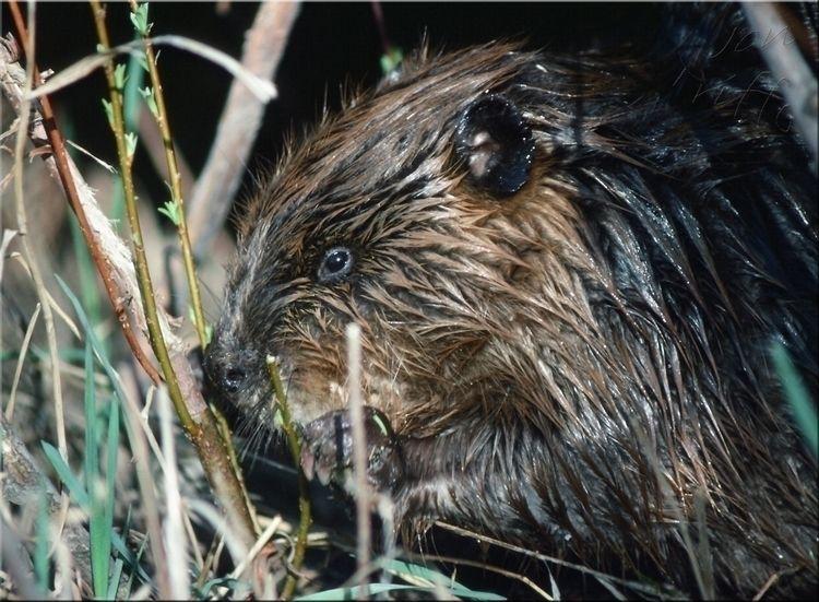 young north american beaver ~ C - ellonatnov | ello